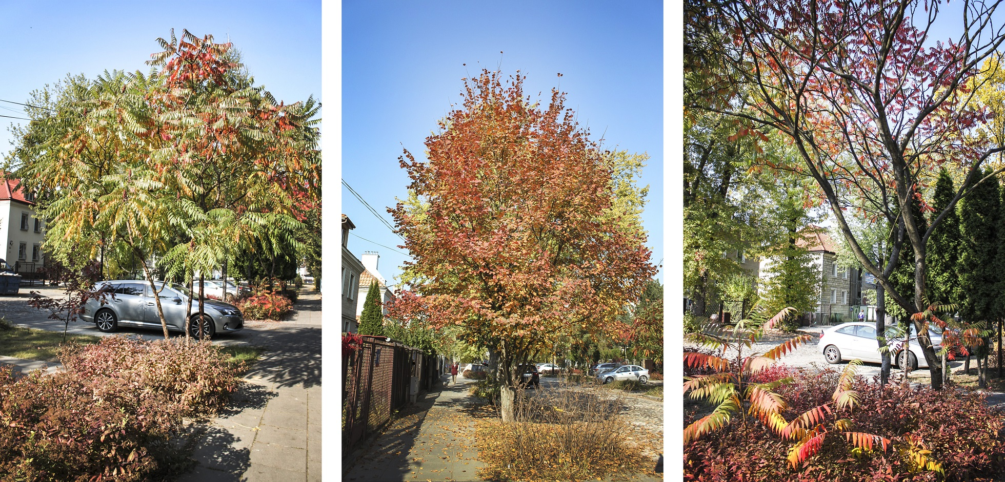 jesienna zieleń przyuliczna